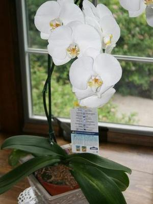 Phalaneopsis_orchids