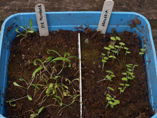 Condition_of_seedlings_30_07_2011