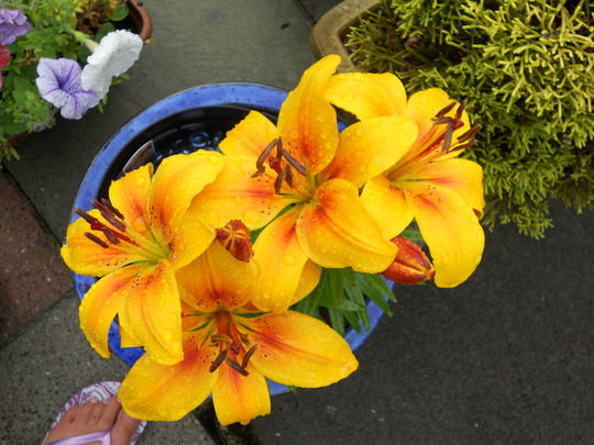 Lily_06_08_11