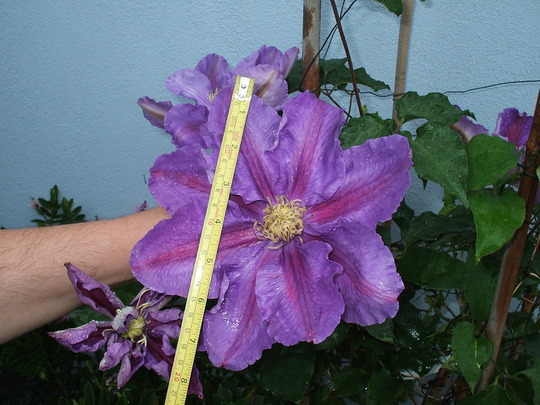 Our_clematis_001