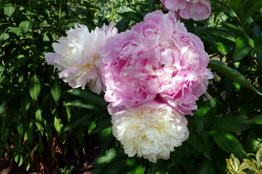 4_june_2011_white_peonies_4_
