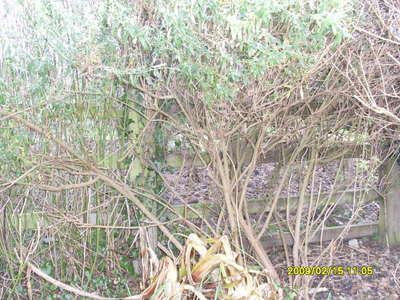 Olearia_pruning_001