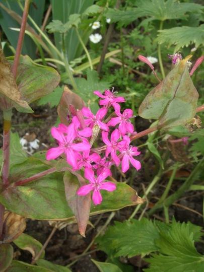Mystery_flower_f._thatch