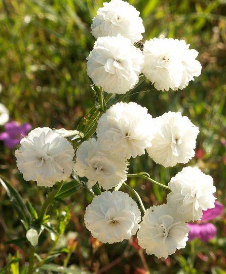 Fleurs_loraine_1