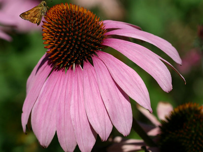Echinacea___purple_coneflower