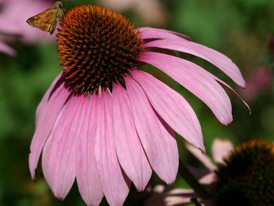 Echinacea___purple_coneflower