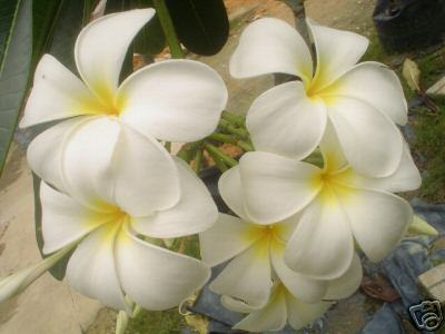 Singapore_flower_plumaria