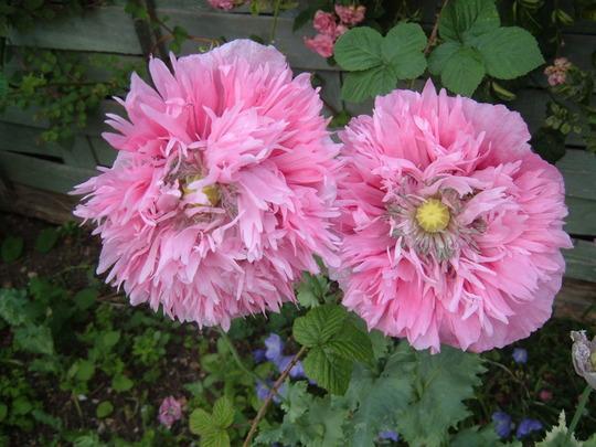 Poppys_001