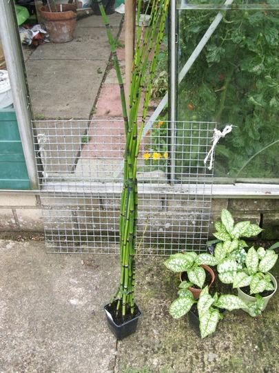 Equisetum_new_plant