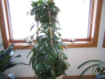 how to look after hoya plants