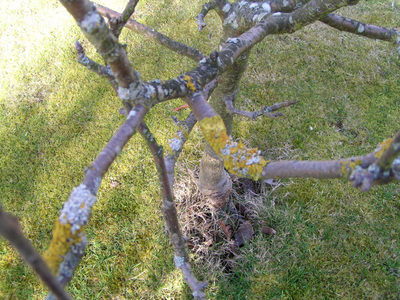 Apple_tree_growth