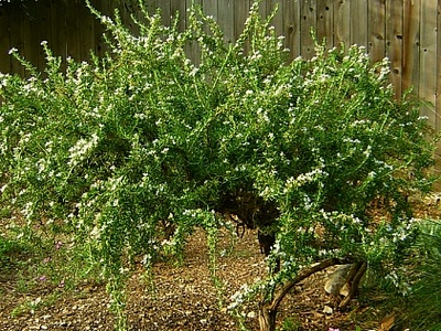 Prostrate_rosemary_2