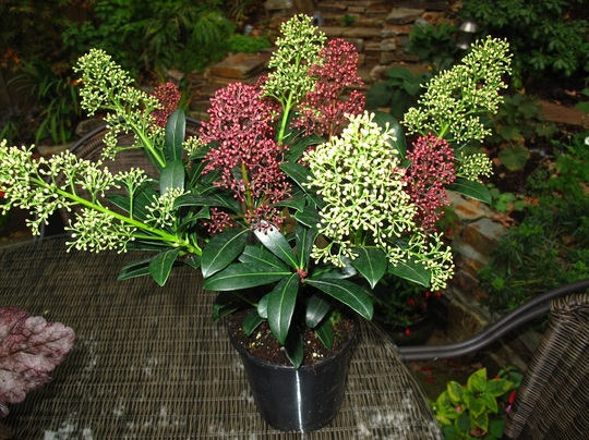 Skimmia_magic_two_colour