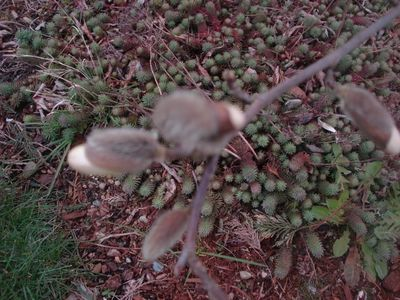 Magnolia_tree3