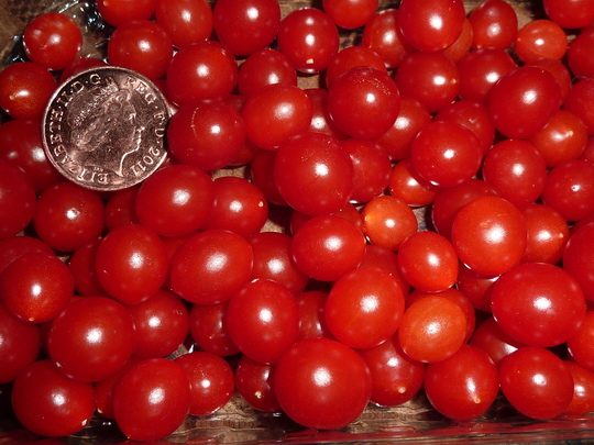 Has Anyone Grown Quot Tomberries Quot The Tiny Little Tomatoes