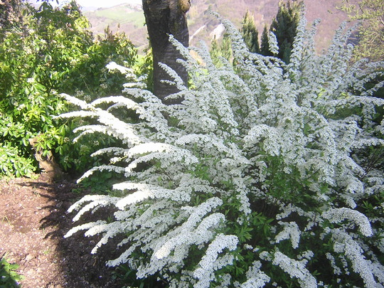 Bridal Bouquet Plant Pruning : I have a rather pretty spirea bush grows on you