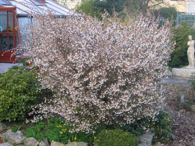 why hasn 39 t my prunus incisa kojo no mai flowered for the. Black Bedroom Furniture Sets. Home Design Ideas