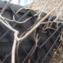 Pruned_wisteria_jan_2012_001