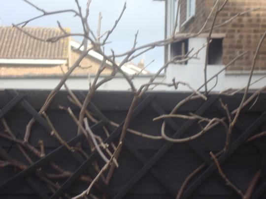 Pruned_wisteria_jan_2012_004