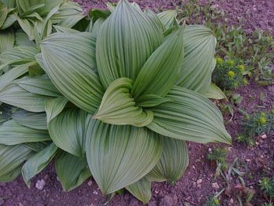 Myster_plant_abbotswood_gardens_upper_swell