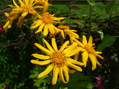 Yellow_flowers_july_03