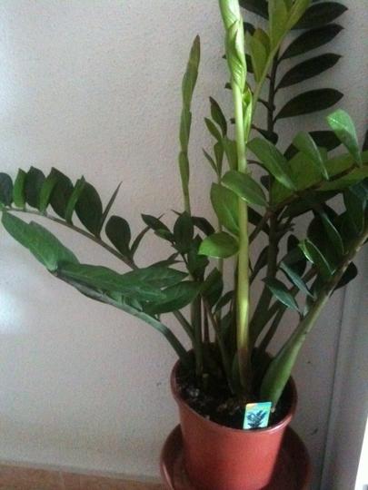 Zami_plant