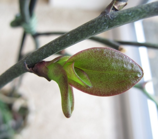 Orchid_leaf_1