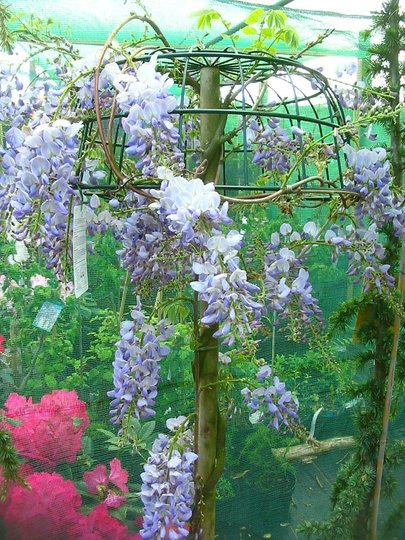 Wisteria_standard_01a_large