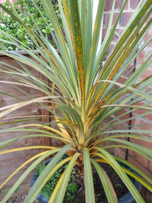 Whats Wrong With My Cordyline Grows On You