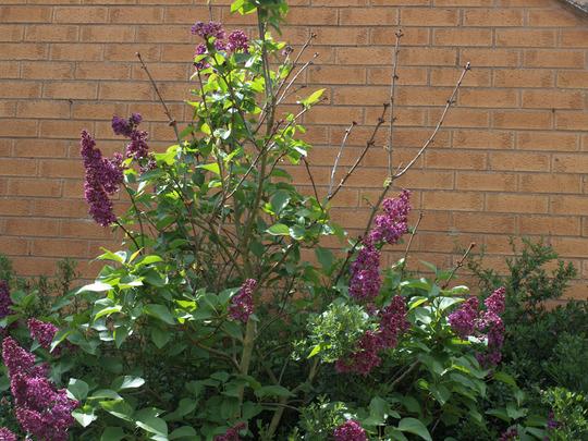 Lilac_problem_11_05_2012