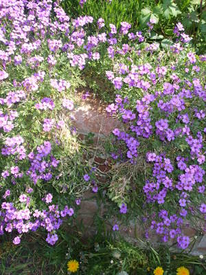 Aubretia_april_09