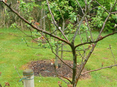 Bramley_apple_tree_012