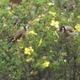 Goldfinches_001