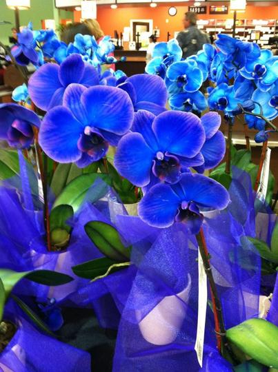 Blue_phalanopsis