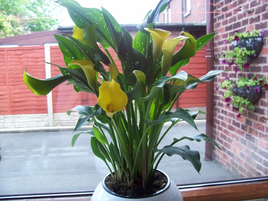I Have Bought A Calla Lily In A Pot And Am Putting It In A Large
