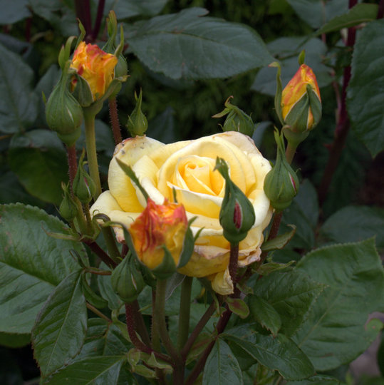 Yellow_rose_c