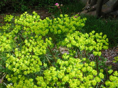Euphorbia_1