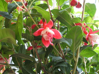 Fuchsia01