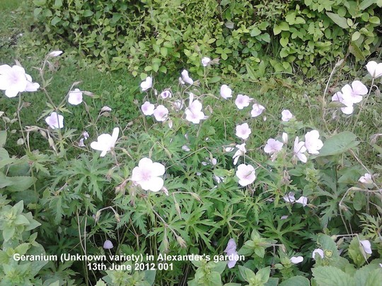 Geranium_unknown_variety_in_alexander_s_garden_13_06_2012_001.jpg