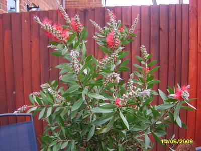Does Bottlebrush Callistemon Citrinus Red Bush Need