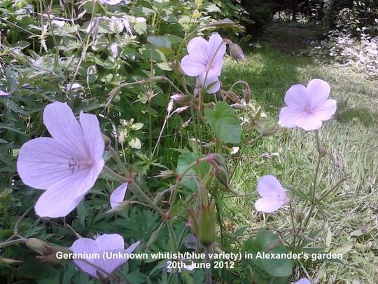 Geranium_unknown_whitish_variety_in_alexander_s_garden_20_06_2012_