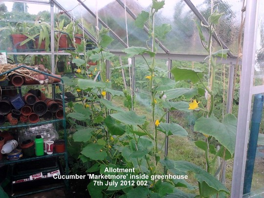 Allotment_cucumbers_marketmore_inside_greenhouse_07_07_2012