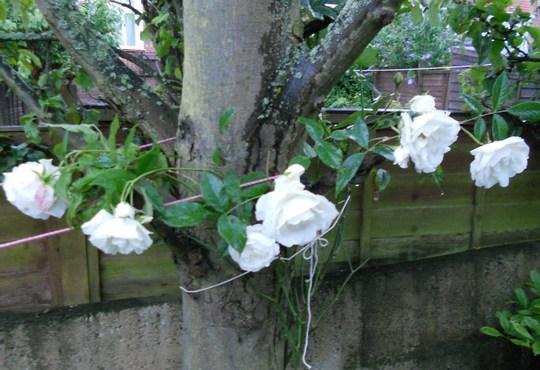 White_rose_11_07_12