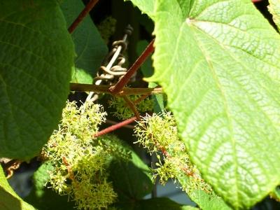 Vine_picture_1