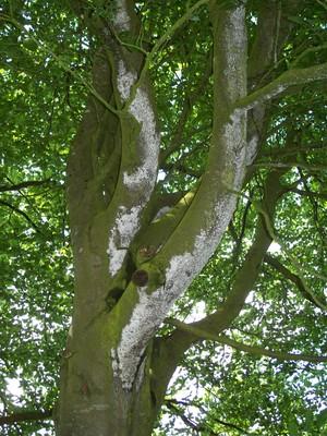 Beech_tree_001