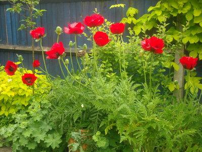 Poppies2_002