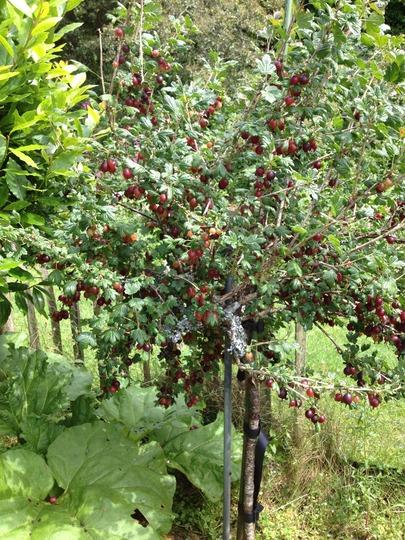 Gooseberry_tree
