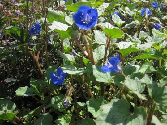 Blue_perennial