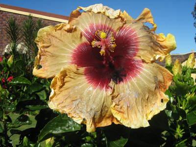 Hibiscus_001