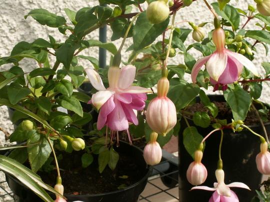 Fuchsia_pink